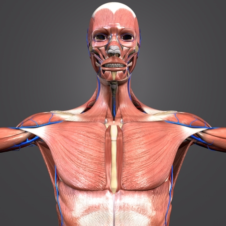 Muscular and Skeleton Anatomy with blood vessels