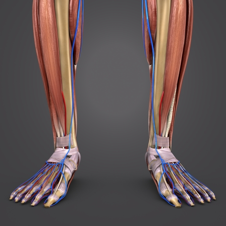 Leg Muscles and Bones with blood vessels closeup