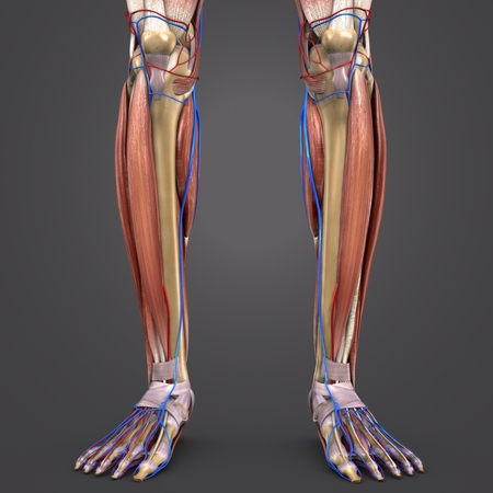 Leg Muscles and Bones with blood vessels