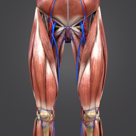 Muscles and Bones with blood vessels of Hip and Thigh Anterior view