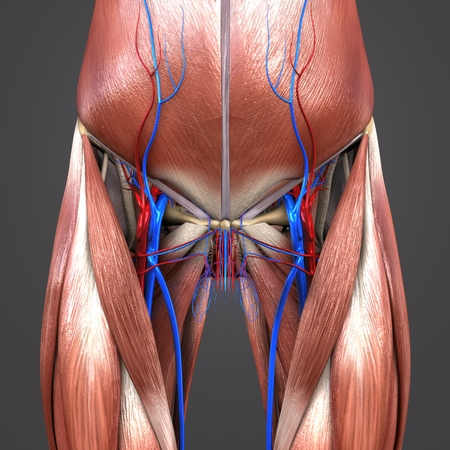 Muscles and Bones with blood vessels of Hip and Thigh