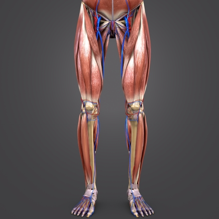 Lower Limbs with blood vessels Anterior view