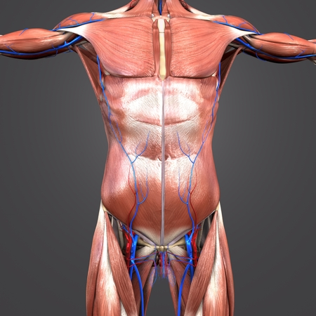 Human Anatomy Muscles and Bones with blood vessels Stock Photo