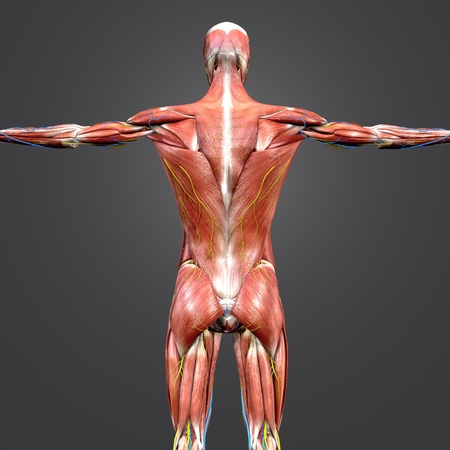 Human Muscular and Skeletal Anatomy with blood vessels and Nerves Posterior view Closeup