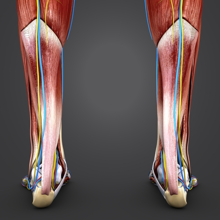 Muscles and Bones of Leg with blood vessels and Nerves Posterior view Stock Photo