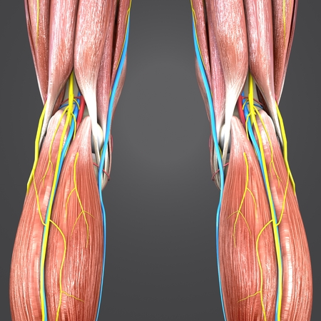 Knee joint with skeleton, blood vessels and nerves posterior view Imagens - 101824063