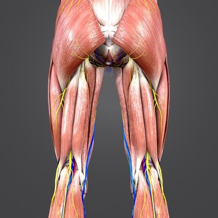 Lower Limbs with blood vessels and Nerves Posterior view 写真素材 - 101824065