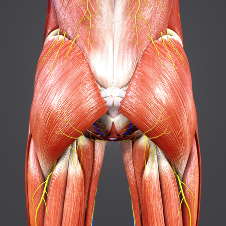 Hip Muscles and Bones with Circulatory system and Nerves