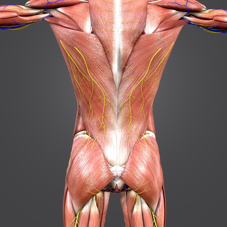 Muscles and Bones at vertebral column with Circulatory system and Nerves