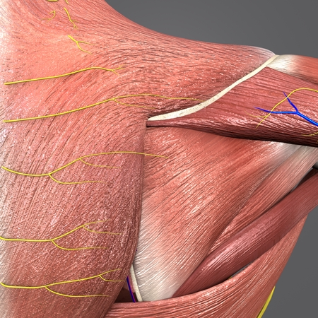 Shoulder Muscles and Bones with Circulatory System and Nerves closeup