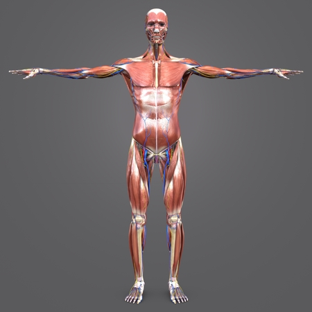 Human Muscular and Skeletal Anatomy with Circulatory System and Nerves Anterior view