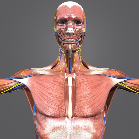 Muscular and Skeleton Anatomy with Circulatory system and Nerves