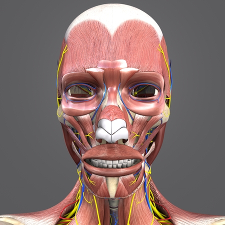 Facial Muscles and Bones with Circulatory system and Nerves