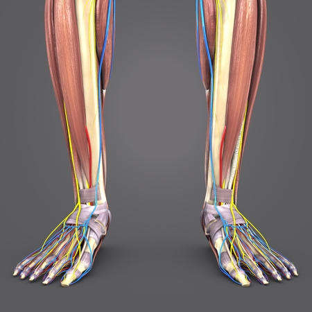 Leg Muscles and Bones with Circulatory system and Nerves closeup