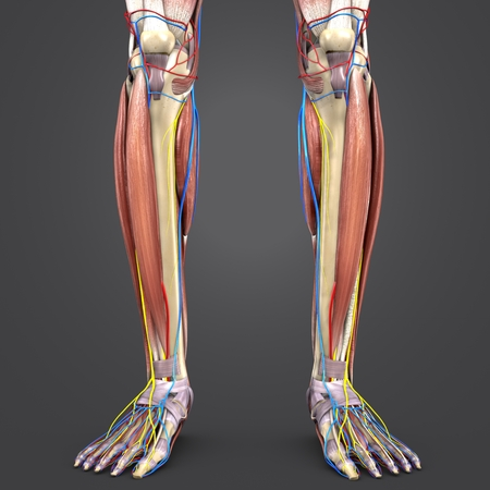 Leg Muscles and Bones with Circulatory system and Nerves Stock Photo