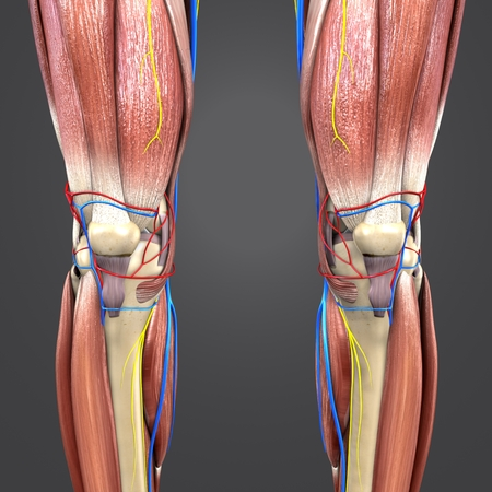 Lower Limbs with Circulatory system and Nerves Anterioe view
