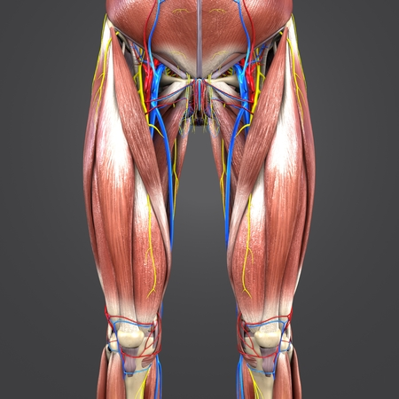 Muscles and Bones with Circulatory system and Nerves of Hip and Thigh Anterior view Stock Photo