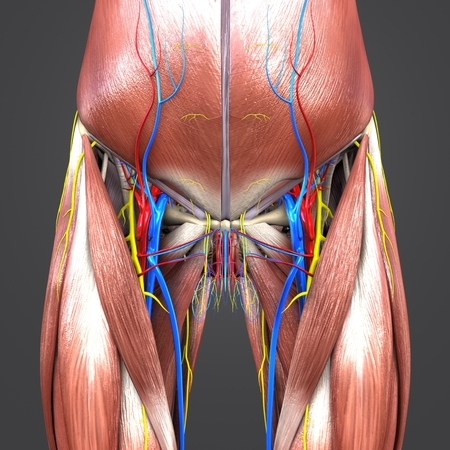 Muscles and Bones with Circulatory system and Nerves of Hip and Thigh