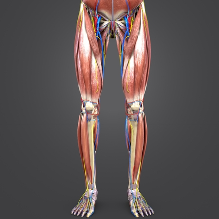 Lower Limbs with Circulatory system and Nerves Anterior view Stock Photo