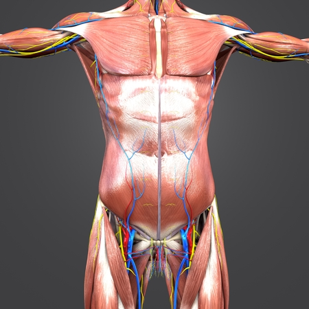 Upper Anatomy Muscles and Bones with Circulatory system and Nerves