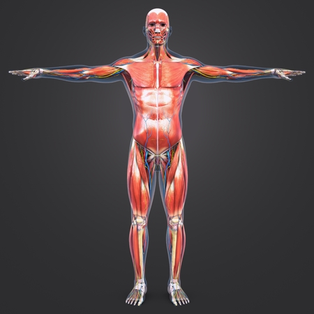 Human Muscular and Skeletal Anatomy with Circulatory system and Nerves