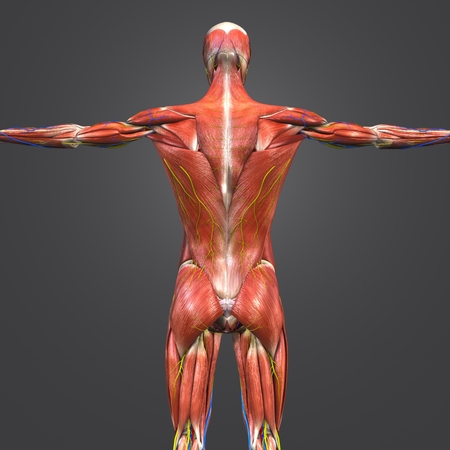 Human Muscular and Skeletal Anatomy with Circulatory System, Nerves and Lymph nodes Posterior view Stock Photo