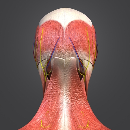 Head Muscles and Bones with Circulatory system, Nerves and Lymph nodes