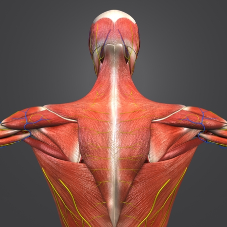 Human Muscular and Skeletal Anatomy with Circulatory System, Nerves and Lymph nodes Posterior view Closeup Stock Photo