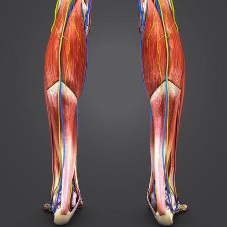 Human legs muscles anatomy posterior view