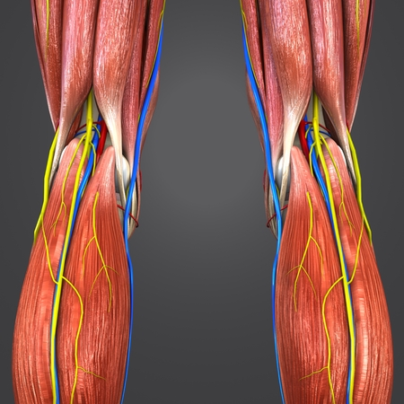 Lower Limbs with Circulatory system, Nerves and Lymph nodes Posterior view