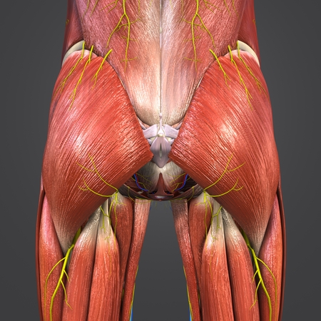 Hip Muscles and Bones with Circulatory system, Nerves and Lymph nodes
