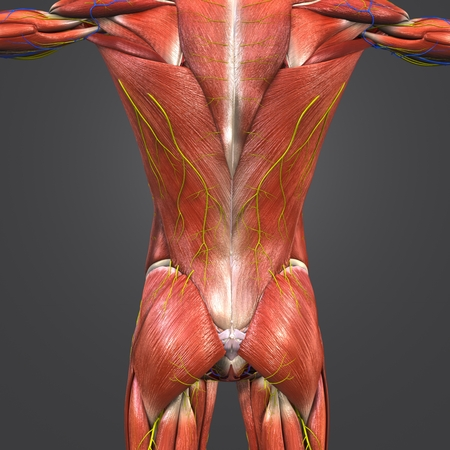Muscles and Bones at vertebral column with Circulatory system, Nerves and Lymph nodes posterior view