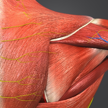 Muscles and Bones at vertebral column with Circulatory system, Nerves and Lymph nodes Stock Photo