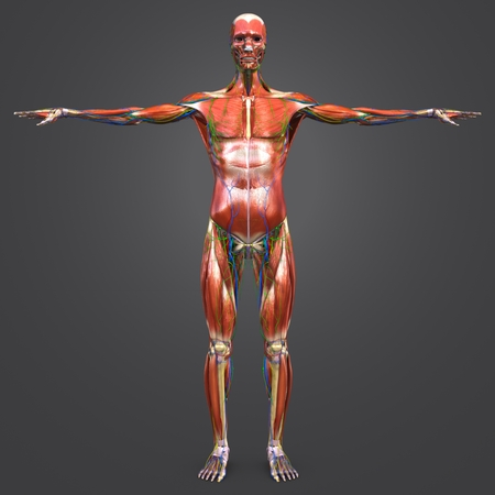 Human Muscular and Skeletal Anatomy with Circulatory System, Nerves and Lymph nodes Anterior view 写真素材
