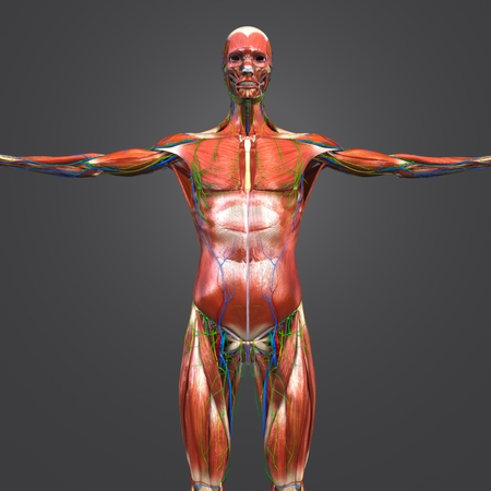 Human Muscular and Skeletal Anatomy with Circulatory System, Nerves and Lymph nodes Anterior view Stock Photo