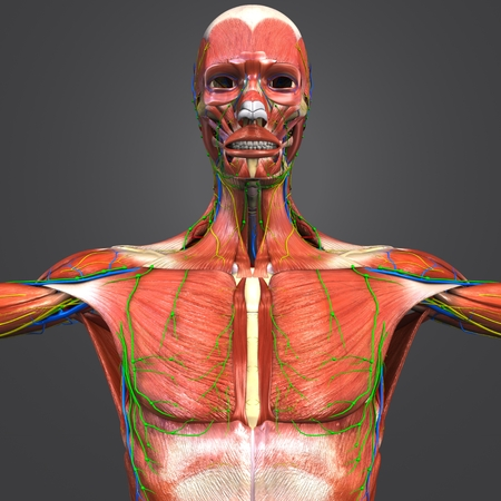 Muscular and Skeleton Anatomy with Circulatory system, Nerves and Lymph nodes Stock Photo