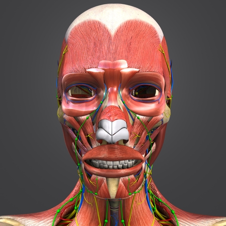 Facial Muscles and Bones with Circulatory system, Nerves and Lymph nodes