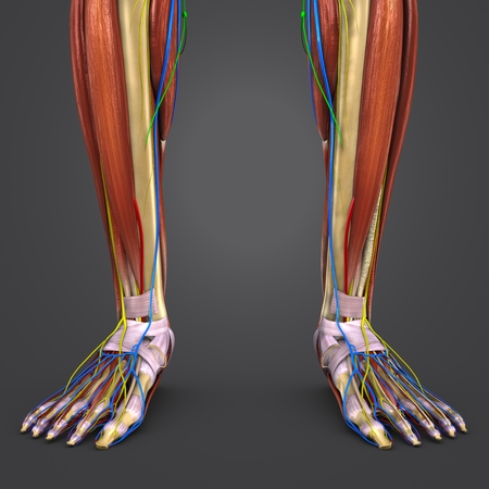 Leg Muscles and Bones with Circulatory system, Nerves and Lymph nodes closeup