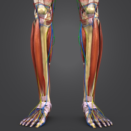 Leg Muscles and Bones with Circulatory system, Nerves and Lymph nodes Stock Photo