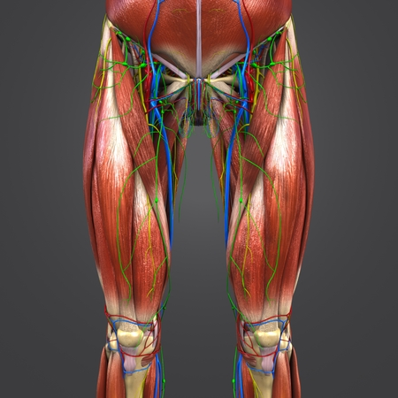 Muscles and Bones with Circulatory system, Nerves and Lymph nodes of Hip and Thigh Anterior view