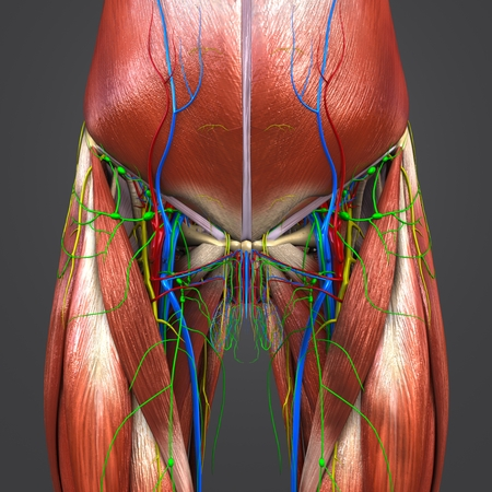 Muscles and Bones with Circulatory system, Nerves and Lymph nodes of Hip and Thigh