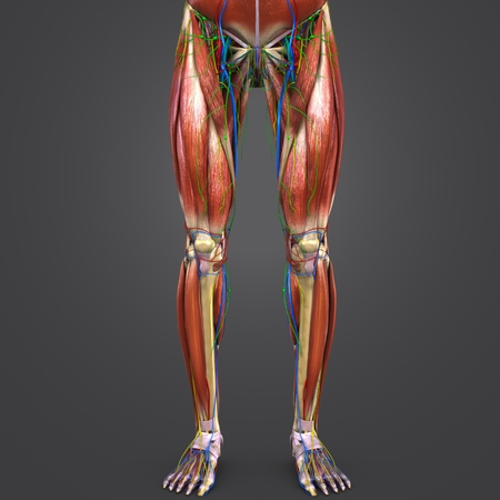 Lower Limbs with Circulatory system, Nerves and Lymph nodes Anterior view