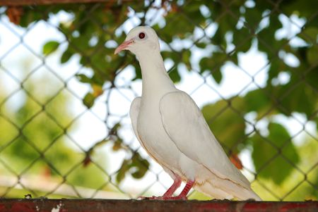 White dove.Female bird