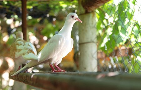 Doves.Couple ,male and female in a birdcage Stock Photo