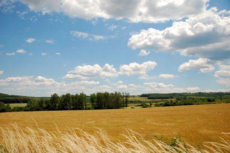 Ripe wheat field against blue sky.