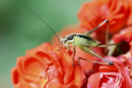 Grasshopper in the roses photo
