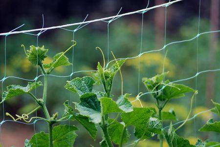 cucumber crops