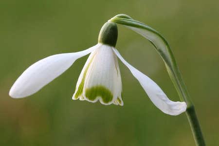 galanthus: Snowdrops Galanthus nivalis Stock Photo