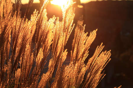 backlights: Grass backlit with setting sun in autumn