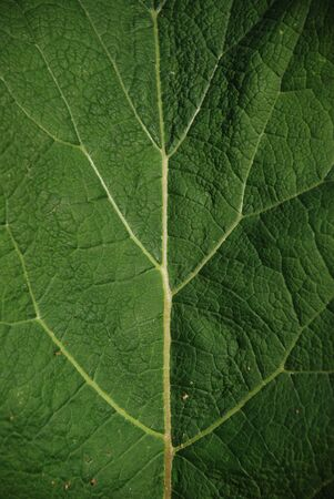 A nice leaf texture with branching yellow veins, looks like tree inside.